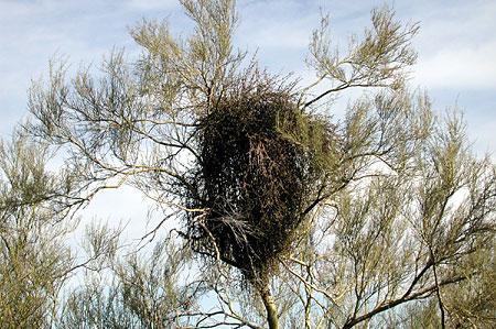 mistletoeweb