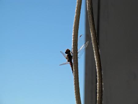 Amargosa Dragonfly