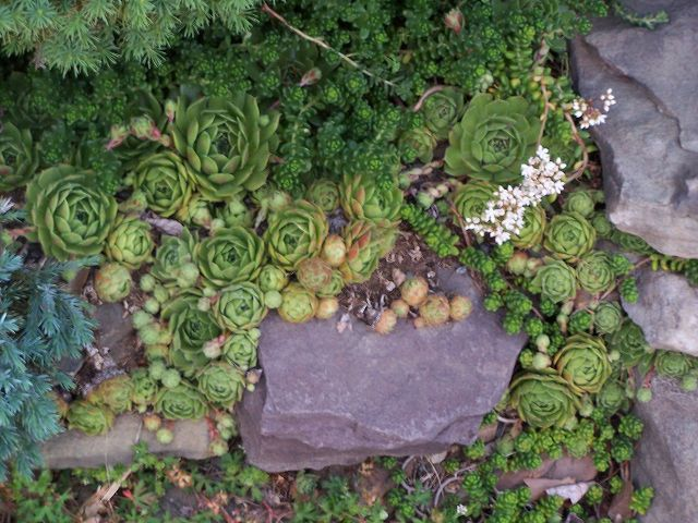 Hens_and_Chicks_growing_amid_other_succulents Wikipedia